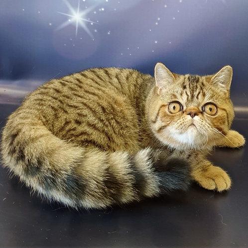 65 Kuper   Exotic shorthair male kitten
