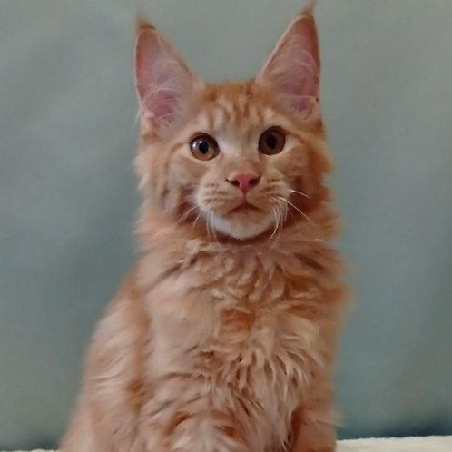 645 Jeffery  Maine Coon male kitten