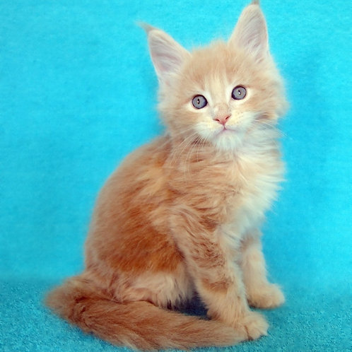 Ekim   Maine Coon male kitten