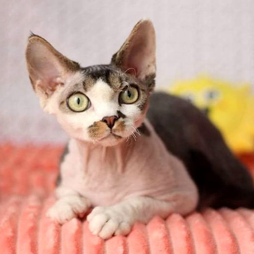 161 Amigo  male kitten Devon Rex