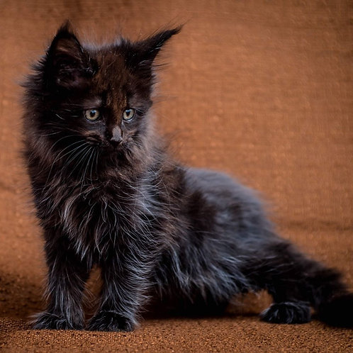 Yamir Maine Coon male kitten