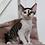Thumbnail: 626 Chester  male kitten Devon Rex