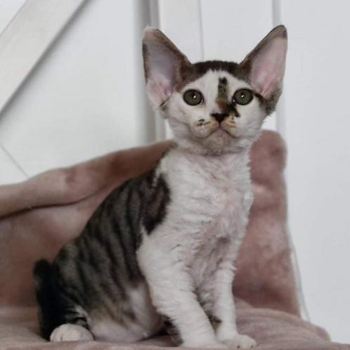 626 Chester  male kitten Devon Rex