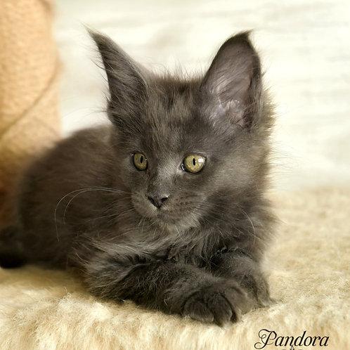 505 Pandora  Maine Coon female kitten