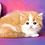 Thumbnail: 1119 Jackson  Scottish straight longhair male kitten