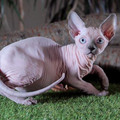 242 Elegant  male Sphinx kitten