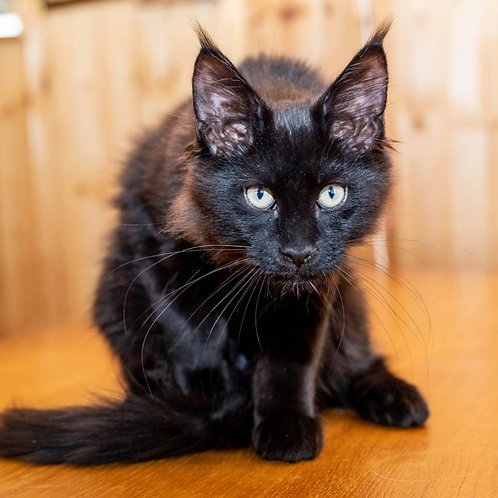 325 Chingis Khan   Maine Coon male kitten