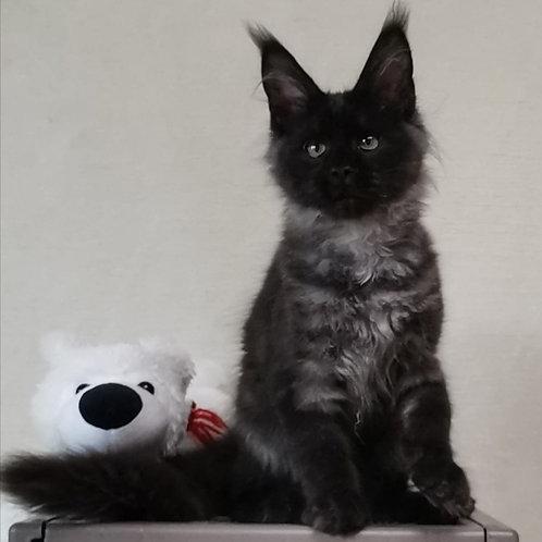542 Z*Lolita    Maine Coon female kitten