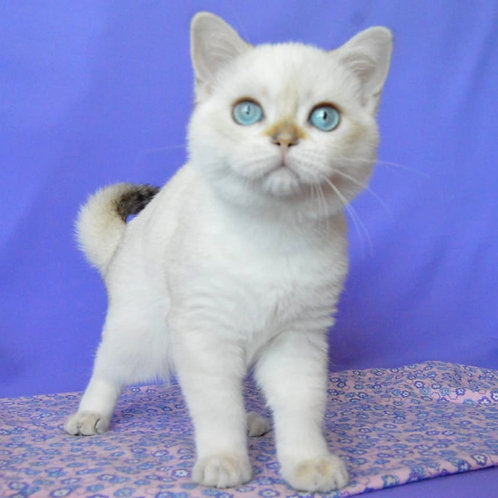 442 Timothy     Scottish straight shorthair male kitten
