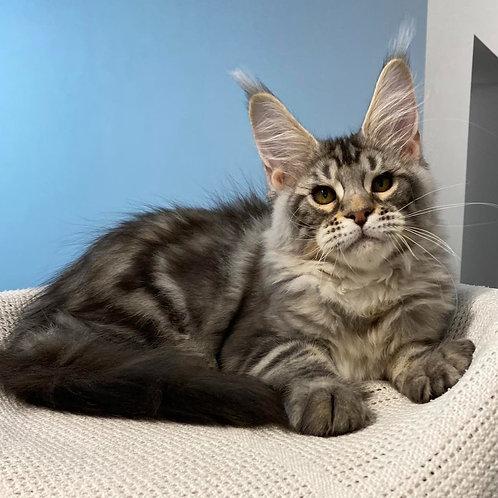 460 Pan  Maine Coon male kitten