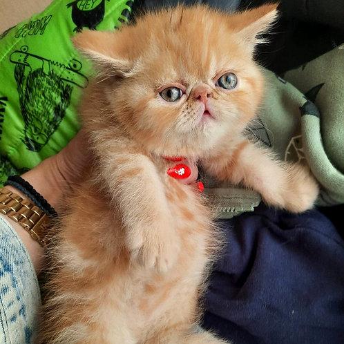 86 Zeus  Exotic  male kitten