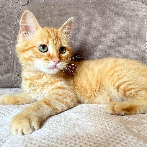 219 Simba    Siberian male kitten