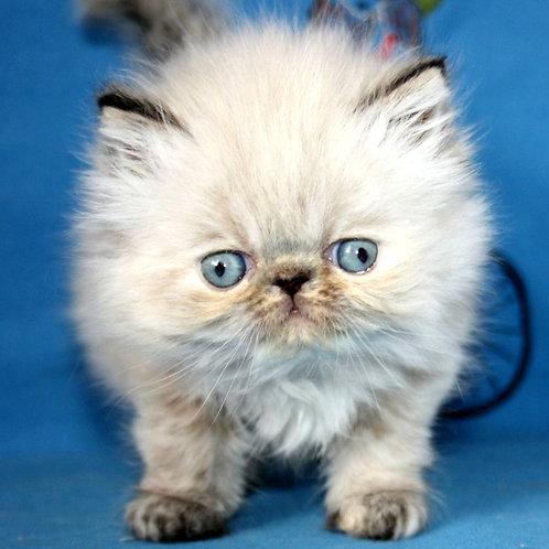 234 Iriska Persian female kitten