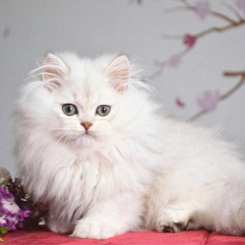 56 Janis   British longhair male kitten