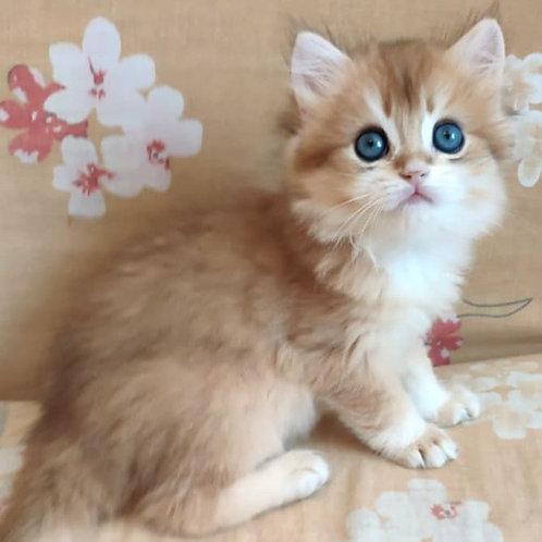 1017 Abrikos  British longhair male kitten