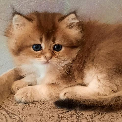 1016 Mars  British longhair male kitten
