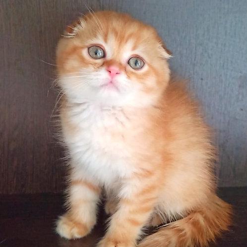 588 Narcissus   Scottish fold shorthair male kitten