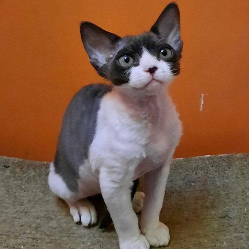 206 Zakhar  male kitten Devon Rex