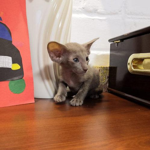 Gipper Oriental male kitten