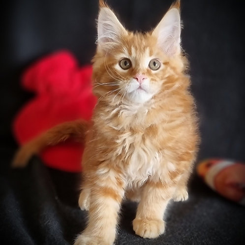 263 Genry  Maine Coon male kitten