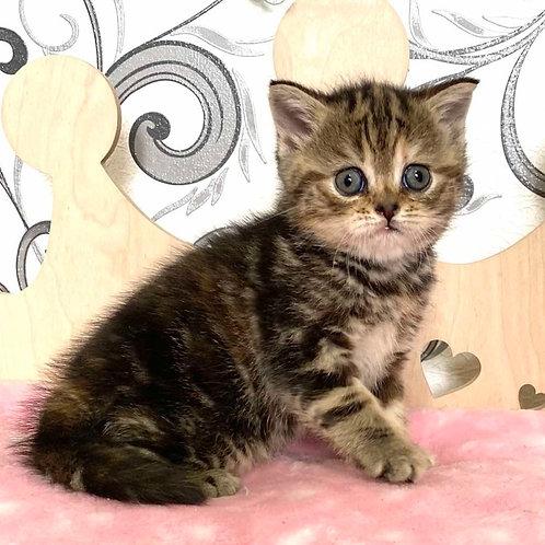 532 Africa  Scottish straight shorthair female kitten