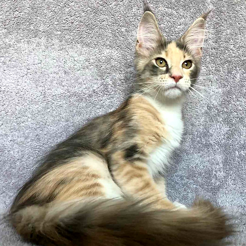 598 Ornella  Maine Coon female kitten