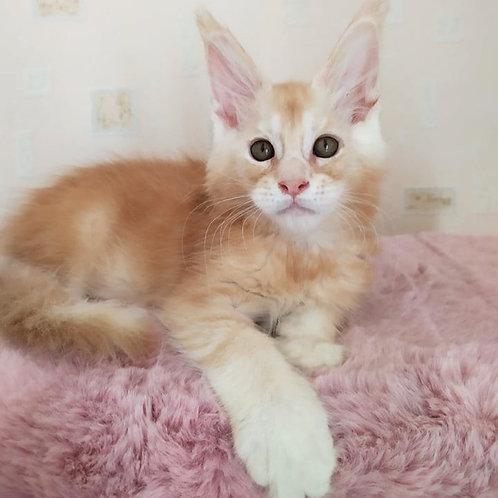 729 Edgar   Maine Coon male kitten