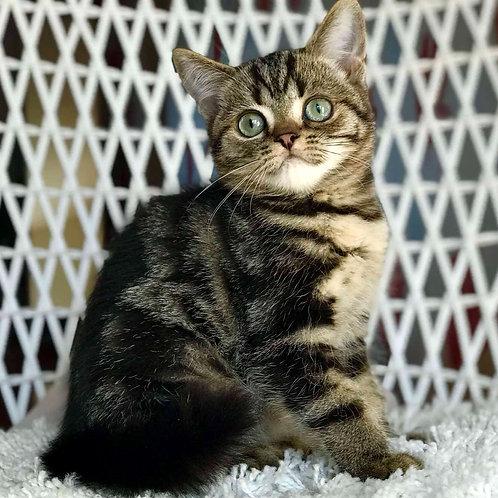 822 Quiller  British shorthair male kitten