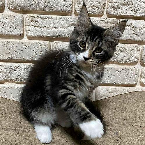 167 Juna Maine Coon female kitten