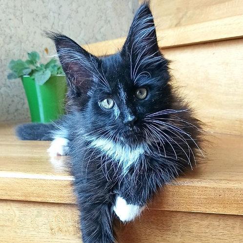 301 Bonifaciy  Maine Coon male kitten