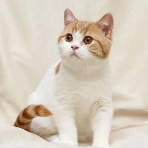 236 Woody  British shorthair male kitten