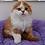 Thumbnail: 373 Yogurt  Scottish fold longhair male kitten