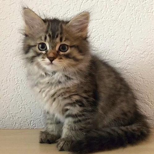 796 Cleopatra Siberian female kitten