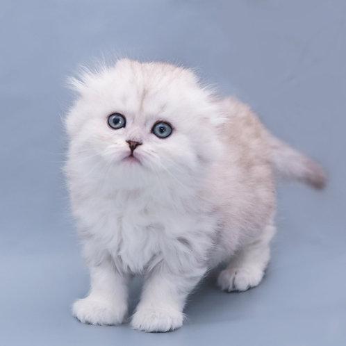 Hessie Scottish fold longhair female kitten