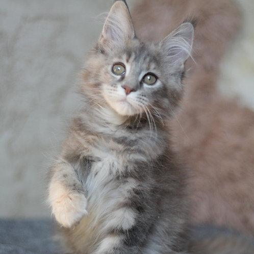 Pana Cota Maine Coon female kitten