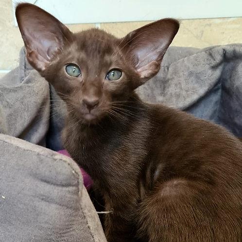 452 Ozzi   Oriental female kitten
