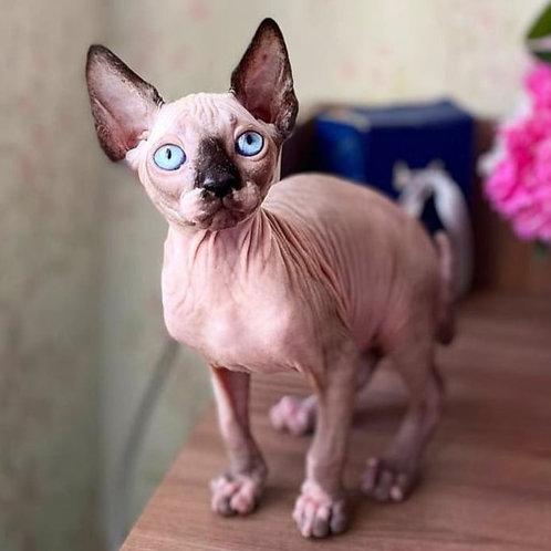 459 Lisi  female Sphynx  kitten