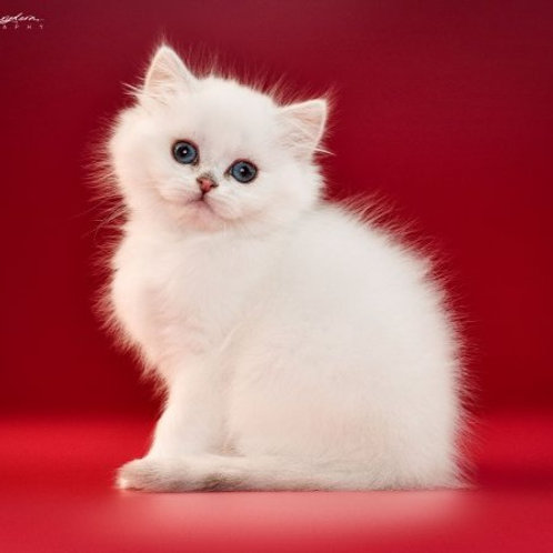 Boston British longhair male kitten