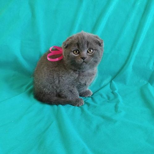 Felina Scottish fold shorthair female kitten