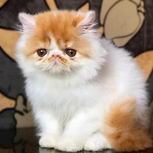 237 Fifa Persian female kitten
