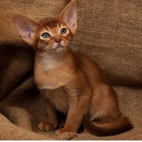 85 Fiona   purebred Abyssinian female kitten