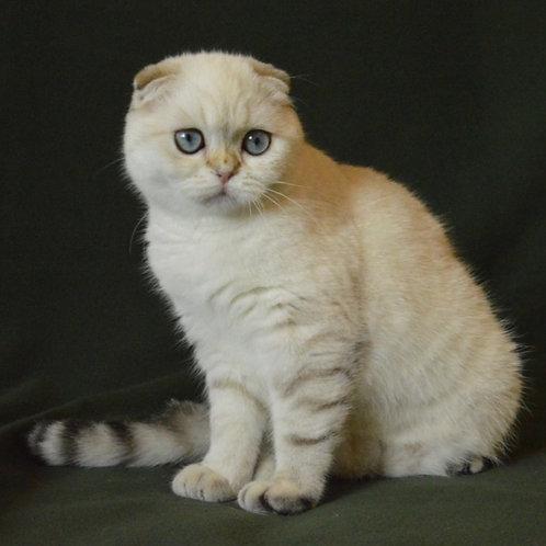 445 Quinta   Scottish fold shorthair female kitten