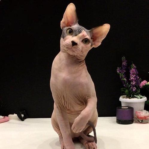 167 Mister Bin  male Sphynx kitten