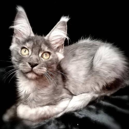 467 Edvard  Maine Coon male kitten