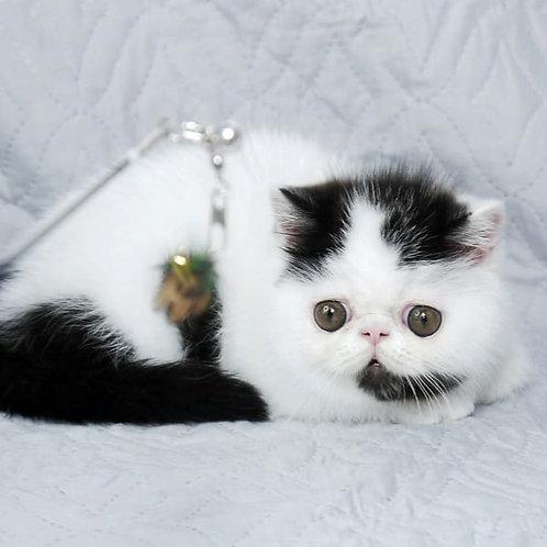 143 Pyero   Exotic  male kitten