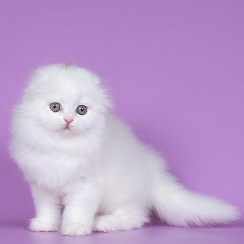 Elliot Scottish fold longhair male kitten