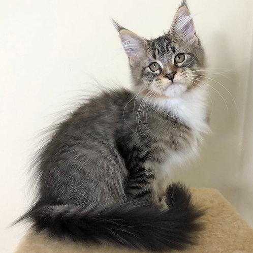 731 Veigela Maine Coon female kitten