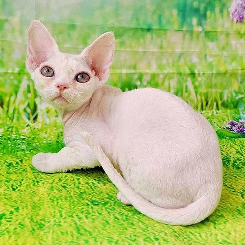 551 Glasha  female kitten Devon Rex