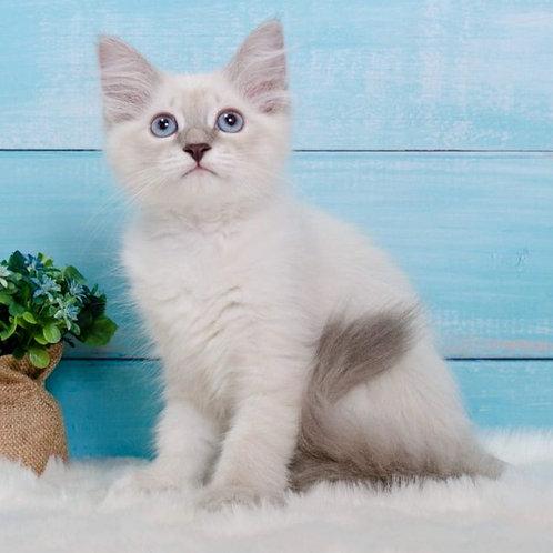 273 Madonna      Siberian female kitten