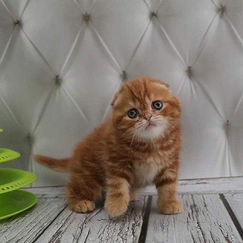 Nuts Scottish fold shorthair male kitten